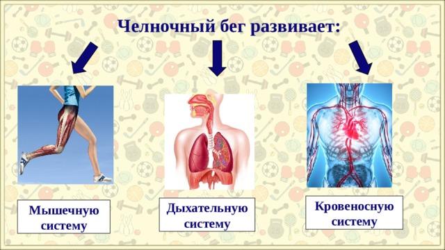 Челночный бег развивает: Кровеносную систему Дыхательную систему Мышечную систему
