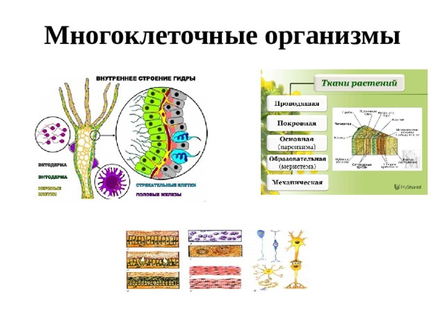 Многоклеточные организмы