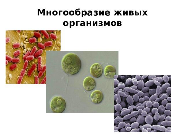 Многообразие живых организмов Дрожжи