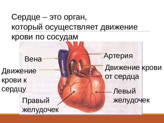 Сердце – это орган, который осуществляет движение крови по сосудам Артерия Вена Движение крови от сердца Движение крови к сердцу Левый желудочек Правый желудочек