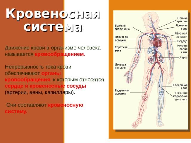 Кровеносная система Движение крови в организме человека называется кровообращением . Непрерывность тока крови обеспечивают органы кровообращения , к которым относятся сердце и кровеносные сосуды (артерии, вены, капилляры).  Они составляют кровеносную систему.