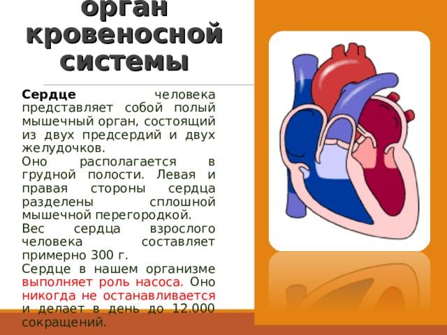 Сердце – главный орган кровеносной системы Сердце человека представляет собой полый мышечный орган, состоящий из двух предсердий и двух желудочков. Оно располагается в грудной полости. Левая и правая стороны сердца разделены сплошной мышечной перегородкой. Вес сердца взрослого человека составляет примерно 300 г. Сердце в нашем организме выполняет роль насоса. Оно никогда не останавливается и делает в день до 12.000 сокращений.