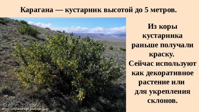 Карагана — кустарник высотой до 5 метров. Из коры кустарника раньше получали краску. Сейчас используют как декоративное растение или для укрепления склонов.