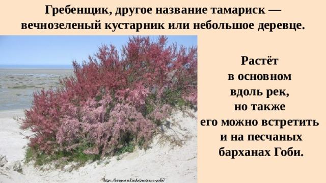 Гребенщик, другое название тамариск — вечнозеленый кустарник или небольшое деревце. Растёт в основном вдоль рек, но также его можно встретить и на песчаных барханах Гоби.