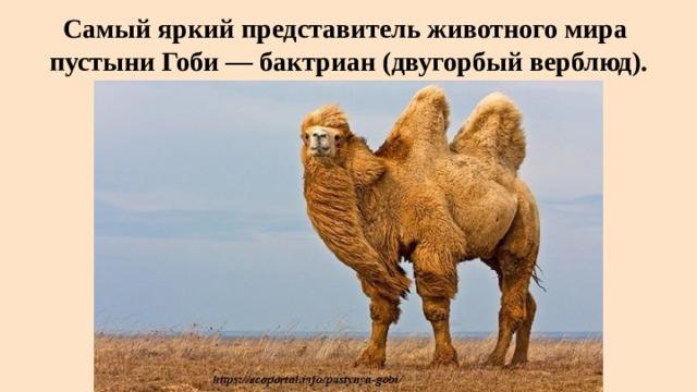 Самый яркий представитель животного мира  пустыни Гоби — бактриан (двугорбый верблюд).