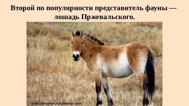 Второй по популярности представительфауны—  лошадь Пржевальского.
