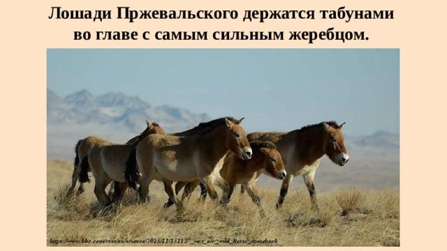 Лошади Пржевальского держатся табунами  во главе с самым сильным жеребцом.