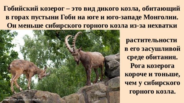 Гобийский козерог – это вид дикого козла, обитающий в горах пустыни Гоби на юге и юго-западе Монголии. Он меньше сибирского горного козла из-за нехватки растительности в его засушливой среде обитания. Рога козерога короче и тоньше, чем у сибирского горного козла.