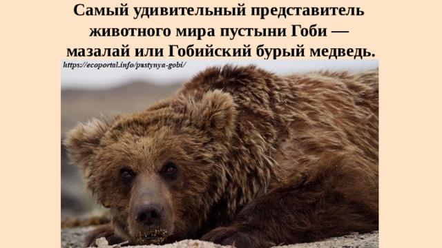Самый удивительный представитель  животного мира пустыни Гоби —  мазалай или Гобийский бурый медведь.