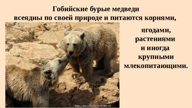 Гобийские бурые медведи  всеядны по своей природе и питаются корнями, ягодами, растениями  и иногда крупными млекопитающими.