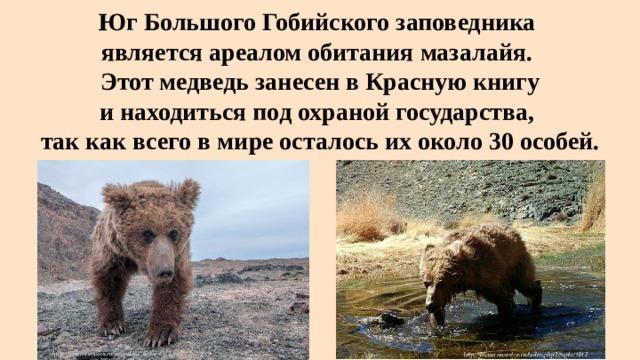 Юг Большого Гобийского заповедника  является ареалом обитания мазалайя.  Этот медведь занесен в Красную книгу  и находиться под охраной государства,  так как всего в мире осталось их около 30 особей.
