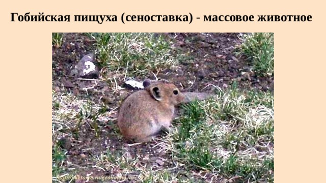 Гобийская пищуха (сеноставка) - массовое животное
