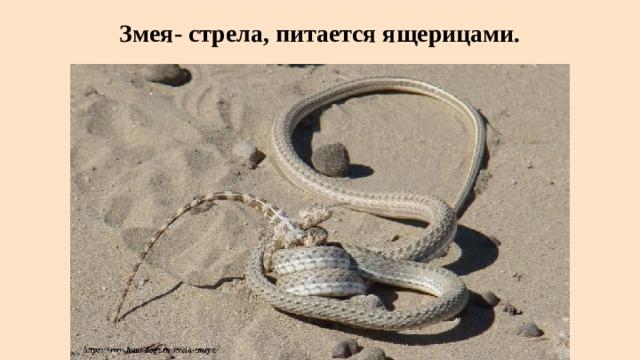 Змея- стрела, питается ящерицами.