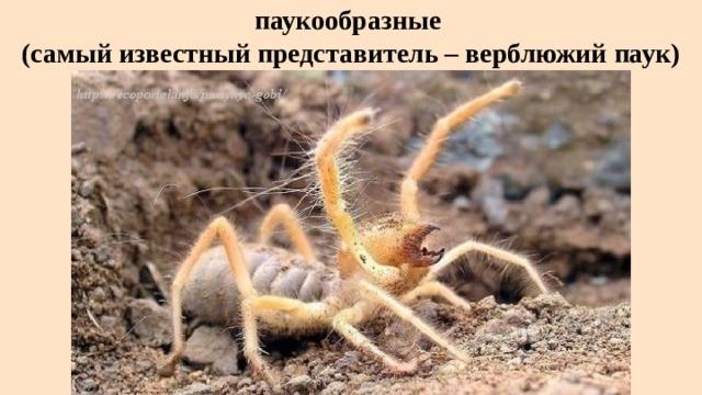 паукообразные  (самый известный представитель – верблюжий паук)