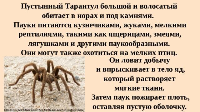Пустынный Тарантулбольшой и волосатый  обитает в норах и под камнями.  Пауки питаются кузнечиками, жуками, мелкими рептилиями, такими как ящерицами, змеями, лягушками и другими паукообразными.  Они могут также охотиться на мелких птиц. Он ловит добычу и впрыскивает в тело яд, который растворяет мягкие ткани. Затем паук пожирает плоть, оставляя пустую оболочку.
