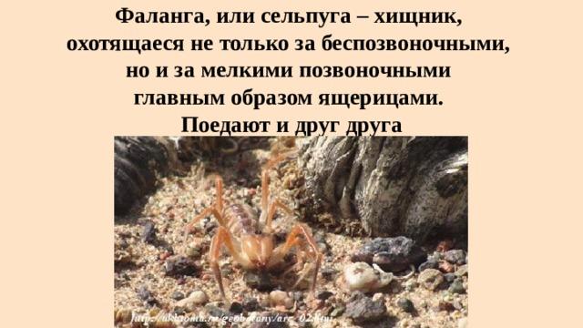 Фаланга, или сельпуга – хищник,  охотящаеся не только за беспозвоночными,  но и за мелкими позвоночными  главным образом ящерицами.  Поедают и друг друга
