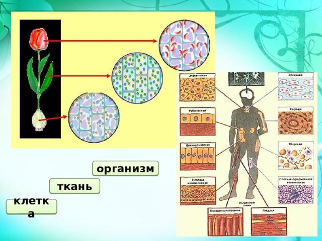 организм ткань клетка
