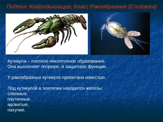 Подтип Жабродышащие, Класс Ракообразные ( Crustacea ) Кутикула – плотное неклеточное образование. Она выполняет опорную и защитную функции. У ракообразных кутикула пропитана известью. Под кутикулой в эпителии находятся железы: слюнные, паутинные, ядовитые, пахучие.