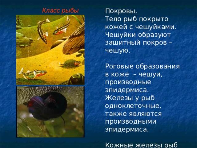 Класс рыбы Покровы. Тело рыб покрыто кожей с чешуйками. Чешуйки образуют защитный покров – чешую. Роговые образования в коже – чешуи, производные эпидермиса. Железы у рыб одноклеточные, также являются производными эпидермиса. Кожные железы рыб выделяют слизь, которой покрыта чешуя рыб.