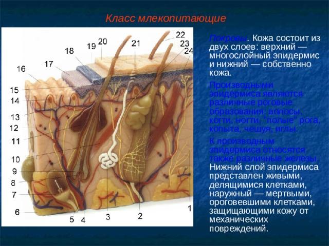 Класс млекопитающие Покровы . Кожа состоит из двух слоев: верхний — многослойный эпидермис и нижний — собственно кожа. Производными эпидермиса являются различные роговые образования: волосы, когти, ногти,