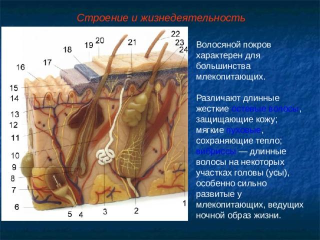 Строение и жизнедеятельность Волосяной покров характерен для большинства млекопитающих. Различают длинные жесткие остевые волосы , защищающие кожу; мягкие пуховые , сохраняющие тепло; вибриссы — длинные волосы на некоторых участках головы (усы), особенно сильно развитые у млекопитающих, ведущих ночной образ жизни.
