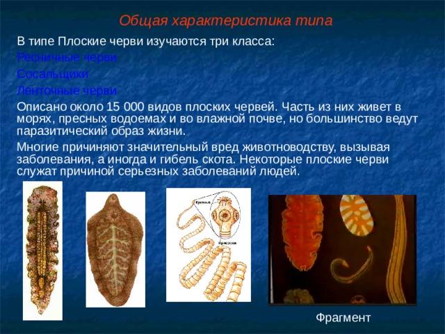 Общая характеристика типа В типе Плоские черви изучаются три класса: Ресничные черви Сосальщики Ленточные черви Описано около 15 000 видов плоских червей. Часть из них живет в морях, пресных водоемах и во влажной почве, но большинство ведут паразитический образ жизни. Многие причиняют значительный вред животноводству, вызывая заболевания, а иногда и гибель скота. Некоторые плоские черви служат причиной серьезных заболеваний людей. Фрагмент