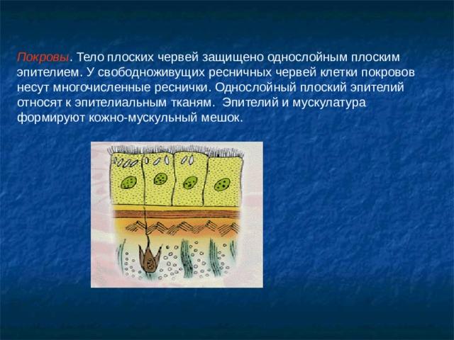 Покровы . Тело плоских червей защищено однослойным плоским эпителием. У свободноживущих ресничных червей клетки покровов несут многочисленные реснички. Однослойный плоский эпителий относят к эпителиальным тканям. Эпителий и мускулатура формируют кожно-мускульный мешок.