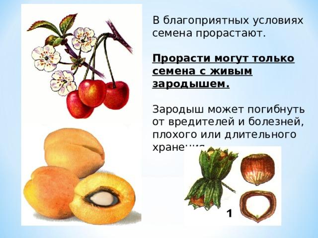 В благоприятных условиях семена прорастают. Прорасти могут только семена с живым зародышем.  Зародыш может погибнуть от вредителей и болезней, плохого или длительного хранения.