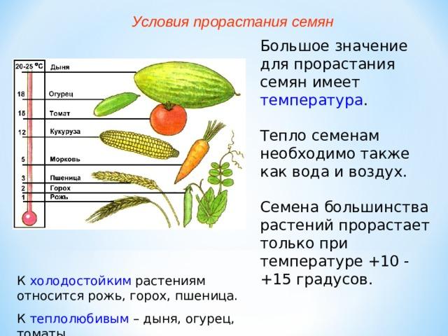 Условия прорастания семян Большое значение для прорастания семян имеет температура . Тепло семенам необходимо также как вода и воздух. Семена большинства растений прорастает только при температуре +10 - +15 градусов. К холодостойким растениям относится рожь, горох, пшеница. К теплолюбивым – дыня, огурец, томаты.