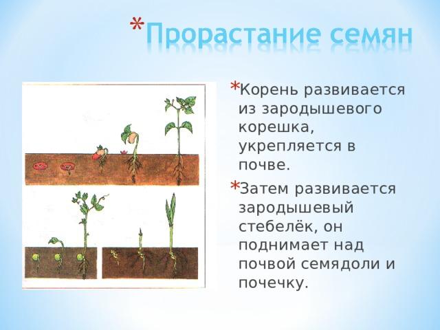 Корень развивается из зародышевого корешка, укрепляется в почве. Затем развивается зародышевый стебелёк, он поднимает над почвой семядоли и почечку.