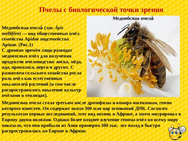 Пчелы с биологической точки зрения  Медоно́сная пчела́ Медоно́сная пчела́ (лат. Ápis melliféra )— вид общественных пчёл семейства Apidae подсемейства Apinae. (Рис.1) С древних времён люди разводят медоносных пчёл для получения продуктов пчеловодства: воска, мёда, яда, прополиса, перги и других. С развитием сельского хозяйства росла роль пчёл как естественных опылителей растений (в том числе распространилось опыление культур пчёлами в теплицах). Медоносная пчела стала третьим после дрозофилы и комара насекомым, геном которого известен. Он содержит около 300 млн пар оснований ДНК. Согласно результатам первых исследований, этот вид возник в Африке, а затем мигрировал в Европу двумя волнами. Однако более позднее изучение генома пчёл по всему миру показало, что они прибыли из Азии примерно 300 тыс. лет назад и быстро распространились по Европе и Африке.