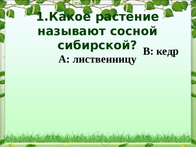 1.Какое растение называют сосной сибирской?  А: лиственницу В: кедр