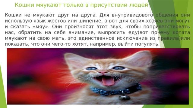 Кошки мяукают только в присутствии людей Кошки не мяукают друг на друга. Для внутривидового общения они использую язык жестов или шипение, а вот для своих хозяев они могут и сказать «мяу». Они произносят этот звук, чтобы поприветствовать нас, обратить на себя внимание, выпросить еду(вот почему котята мяукают на свою мать, это единственное исключение из правила)или показать, что они чего-то хотят, например, выйти погулять.