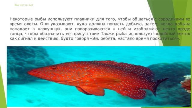 Язык жестов у рыб Некоторые рыбы используют плавники для того, чтобы общаться с сородичами во время охоты. Они указывают, куда должна попасть добыча, затем, когда добыча попадает в «ловушку», они поворачиваются к ней и изображают нечто вроде танца, чтобы обозначить ее присутствие Также рыба использует подобный метод как сигнал к действию, будто говоря «Эй, ребята, настало время поохотиться».