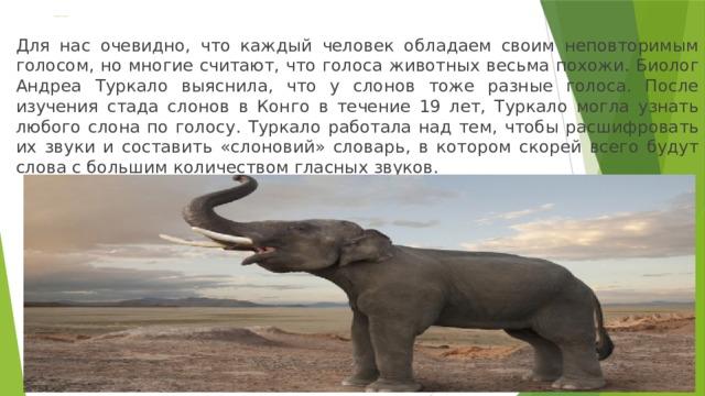 Голоса слонов Для нас очевидно, что каждый человек обладаем своим неповторимым голосом, но многие считают, что голоса животных весьма похожи. Биолог Андреа Туркало выяснила, что у слонов тоже разные голоса. После изучения стада слонов в Конго в течение 19 лет, Туркало могла узнать любого слона по голосу. Туркало работала над тем, чтобы расшифровать их звуки и составить «слоновий» словарь, в котором скорей всего будут слова с большим количеством гласных звуков.