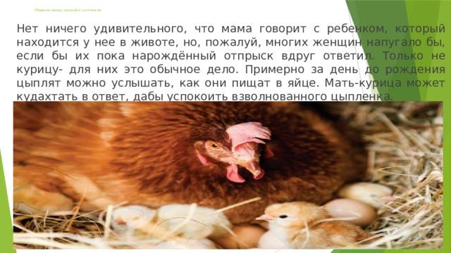 Общение между курицей и цыпленком Нет ничего удивительного, что мама говорит с ребенком, который находится у нее в животе, но, пожалуй, многих женщин напугало бы, если бы их пока нарождённый отпрыск вдруг ответил. Только не курицу- для них это обычное дело. Примерно за день до рождения цыплят можно услышать, как они пищат в яйце. Мать-курица может кудахтать в ответ, дабы успокоить взволнованного цыпленка.