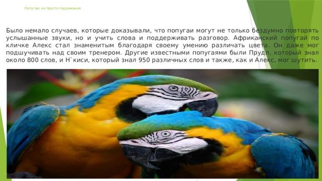 Попугаи: не просто подражание Было немало случаев, которые доказывали, что попугаи могут не только бездумно повторять услышанные звуки, но и учить слова и поддерживать разговор. Африканский попугай по кличке Алекс стал знаменитым благодаря своему умению различать цвета. Он даже мог подшучивать над своим тренером. Другие известными попугаями были Прудл, который знал около 800 слов, и Н`киси, который знал 950 различных слов и также, как и Алекс, мог шутить.