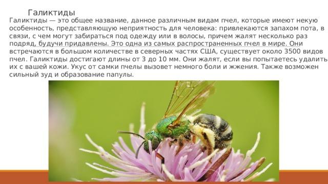 Галиктиды Галиктиды — это общее название, данное различным видам пчел, которые имеют некую особенность, представляющую неприятность для человека: привлекаются запахом пота, в связи, с чем могут забираться под одежду или в волосы, причем жалят несколько раз подряд, будучи придавлены. Это одна из самых распространенных пчел в мире. Они встречаются в большом количестве в северных частях США, существует около 3500 видов пчел. Галиктиды достигают длины от 3 до 10 мм. Они жалят, если вы попытаетесь удалить их с вашей кожи. Укус от самки пчелы вызовет немного боли и жжения. Также возможен сильный зуд и образование папулы.