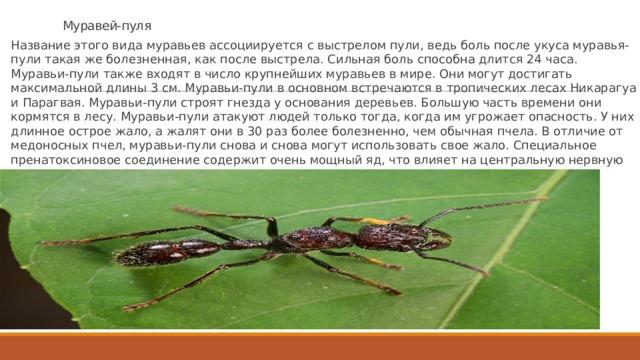 Муравей-пуля Название этого вида муравьев ассоциируется с выстрелом пули, ведь боль после укуса муравья-пули такая же болезненная, как после выстрела. Сильная боль способна длится 24 часа. Муравьи-пули также входят в число крупнейших муравьев в мире. Они могут достигать максимальной длины 3 см. Муравьи-пули в основном встречаются в тропических лесах Никарагуа и Парагвая. Муравьи-пули строят гнезда у основания деревьев. Большую часть времени они кормятся в лесу. Муравьи-пули атакуют людей только тогда, когда им угрожает опасность. У них длинное острое жало, а жалят они в 30 раз более болезненно, чем обычная пчела. В отличие от медоносных пчел, муравьи-пули снова и снова могут использовать свое жало. Специальное пренатоксиновое соединение содержит очень мощный яд, что влияет на центральную нервную систему жертвы. Это может привести к временному параличу конечностей.