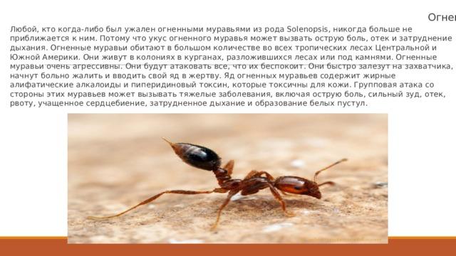 Огненные муравьи Любой, кто когда-либо был ужален огненными муравьями из рода Solenopsis, никогда больше не приближается к ним. Потому что укус огненного муравья может вызвать острую боль, отек и затруднение дыхания. Огненные муравьи обитают в большом количестве во всех тропических лесах Центральной и Южной Америки. Они живут в колониях в курганах, разложившихся лесах или под камнями. Огненные муравьи очень агрессивны. Они будут атаковать все, что их беспокоит. Они быстро залезут на захватчика, начнут больно жалить и вводить свой яд в жертву. Яд огненных муравьев содержит жирные алифатические алкалоиды и пиперидиновый токсин, которые токсичны для кожи. Групповая атака со стороны этих муравьев может вызывать тяжелые заболевания, включая острую боль, сильный зуд, отек, рвоту, учащенное сердцебиение, затрудненное дыхание и образование белых пустул.