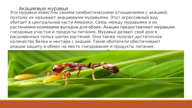Акациевые муравьи Эти муравьи известны своими симбиотическими отношениями с акацией, поэтому их называют акациевыми муравьями. Этот агрессивный вид обитает в центральной части Америки. Связь между муравьями и их растениями-хозяевами выгодна для обоих. Акации предоставляют муравьям гнездовые участки и продукты питания. Муравьи делают свой дом в расширенных полых шипах растений. Они также получат достаточное количество белка и нектара с акаций. Такие обитатели обеспечивают акации защиту в обмен на место гнездования и продукты питания. Акациевые муравьи очень агрессивны, и они будут нападать на насекомых, травоядных и даже людей, которые вступают в контакт с акацией, на которой они живут. Чтобы избежать болезненного укуса этих животных, лучше не беспокоить их и места их обитания.