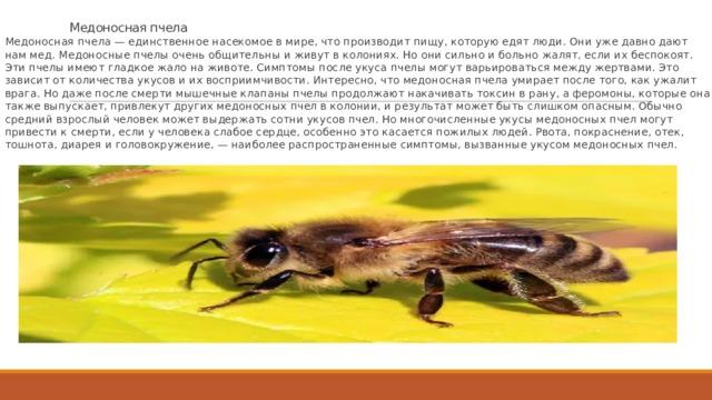 Медоносная пчела Медоносная пчела — единственное насекомое в мире, что производит пищу, которую едят люди. Они уже давно дают нам мед. Медоносные пчелы очень общительны и живут в колониях. Но они сильно и больно жалят, если их беспокоят. Эти пчелы имеют гладкое жало на животе. Симптомы после укуса пчелы могут варьироваться между жертвами. Это зависит от количества укусов и их восприимчивости. Интересно, что медоносная пчела умирает после того, как ужалит врага. Но даже после смерти мышечные клапаны пчелы продолжают накачивать токсин в рану, а феромоны, которые она также выпускает, привлекут других медоносных пчел в колонии, и результат может быть слишком опасным. Обычно средний взрослый человек может выдержать сотни укусов пчел. Но многочисленные укусы медоносных пчел могут привести к смерти, если у человека слабое сердце, особенно это касается пожилых людей. Рвота, покраснение, отек, тошнота, диарея и головокружение, — наиболее распространенные симптомы, вызванные укусом медоносных пчел.