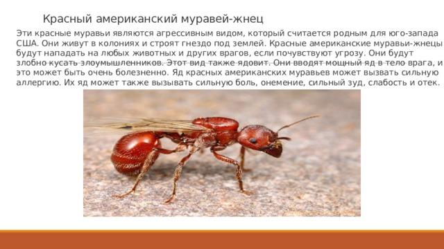 Красный американский муравей-жнец Эти красные муравьи являются агрессивным видом, который считается родным для юго-запада США. Они живут в колониях и строят гнездо под землей. Красные американские муравьи-жнецы будут нападать на любых животных и других врагов, если почувствуют угрозу. Они будут злобно кусать злоумышленников. Этот вид также ядовит. Они вводят мощный яд в тело врага, и это может быть очень болезненно. Яд красных американских муравьев может вызвать сильную аллергию. Их яд может также вызывать сильную боль, онемение, сильный зуд, слабость и отек.