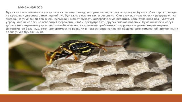 Бумажная оса Бумажные осы названы в честь своих красивых гнезд, которые выглядят как изделия из бумаги. Они строят гнезда на крышах и дверных рамах зданий. Но бумажные осы не так агрессивны. Они атакуют только, если разрушают их гнезда. Но укус такой осы очень сильный и может вызвать аллергическую реакцию. Если бумажная оса чувствует угрозу, она немедленно освободит феромоны, чтобы предупредить других членов колонии. Бумажные осы могут делать многократные укусы, что способны вызвать серьезные проблемы со здоровьем и даже смерть жертвы. Интенсивная боль, зуд, отек, аллергические реакции и покраснение являются общими симптомами, обнаруженными после укуса бумажных ос.