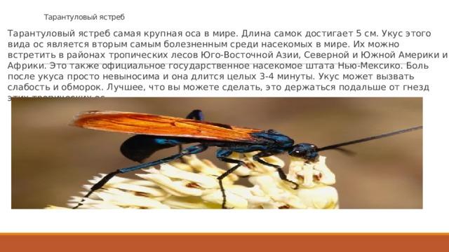 Тарантуловый ястреб Тарантуловый ястреб самая крупная оса в мире. Длина самок достигает 5 см. Укус этого вида ос является вторым самым болезненным среди насекомых в мире. Их можно встретить в районах тропических лесов Юго-Восточной Азии, Северной и Южной Америки и Африки. Это также официальное государственное насекомое штата Нью-Мексико. Боль после укуса просто невыносима и она длится целых 3-4 минуты. Укус может вызвать слабость и обморок. Лучшее, что вы можете сделать, это держаться подальше от гнезд этих тропических ос.
