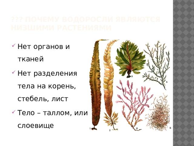 ??? Почему водоросли являются низшими растениями