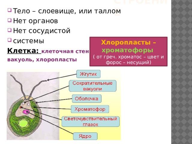 Строение Тело – слоевище, или таллом Нет органов Нет сосудистой системы Клетка: клеточная стенка, вакуоль, хлоропласты  Хлоропласты – хроматофоры ( от греч. хроматос – цвет и форос – несущий)