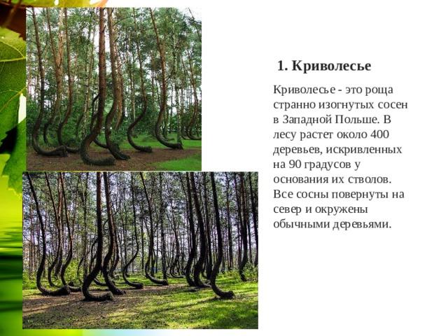 1. Криволесье Криволесье - это роща странно изогнутых сосен в Западной Польше. В лесу растет около 400 деревьев, искривленных на 90 градусов у основания их стволов. Все сосны повернуты на север и окружены обычными деревьями.