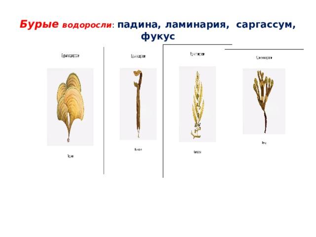 Бурые водоросли : падина, ламинария, саргассум, фукус