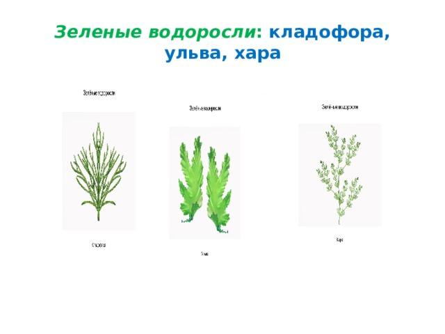 Зеленые водоросли : кладофора, ульва, хара